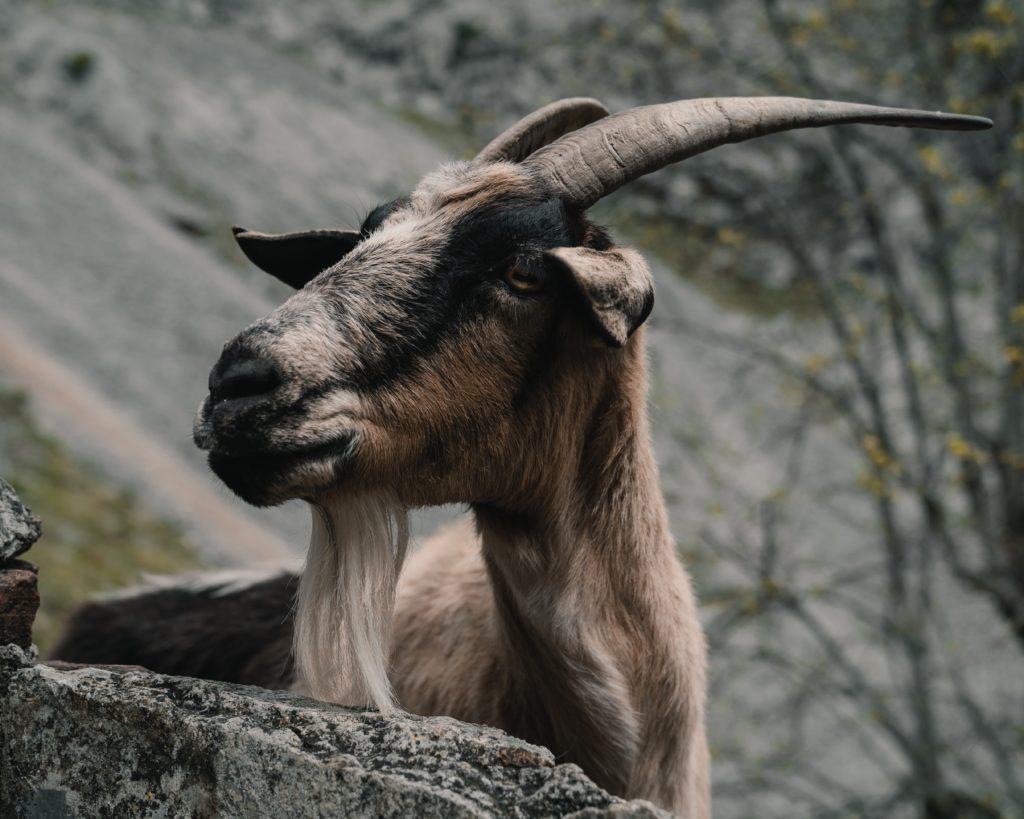 Ziege Freimaurer Goat Religion Wie passen Freimaurer und Religion zusammen?